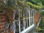 Wisteria at the kitchen window